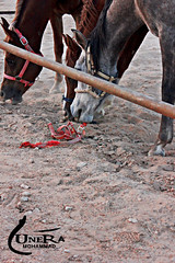 horse 1 (munira mohammed |  ) Tags: horses plant photography photo flickr picture mohammed stable    munira            muneramohammad   munerahmohammad
