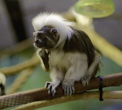 Cotton-headed Tamarin (Saguinus oedipus) (guppiecat) Tags: saguinusoedipus cottonheadedtamarin