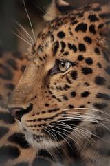 Amourluipaard (K.Verhulst) Tags: luipaard leopard cats antwerpen belgie belgium deantwerpsezootheantwerpzoo greatphotographers aplaceforgreaterphotographers kat cat