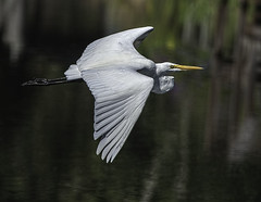 Lake Istokpoge Great Egret In-Flight (stan hope) Tags: morning nature birds florida wildlife ngc swamp sebring greategret birdsofprey waterbirds floridawildlife lakeplacidflorida specanimal highlandscounty lakeistokpoga nikond3 loridaflorida me2youphotographylevel1 freedomtosoarlevel1birdphotosonly