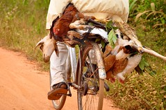 not the most comfortable way to travel (Pejasar) Tags: africa man bike bicycle goat ghana westafrica mission missions fumc vimvolunteerinmission tulsafirstunitedmethodistchurch threelivechickens