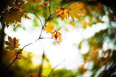 Palms of Autumn (moaan) Tags: life leica autumn color digital 50mm glow dof bokeh f10 momiji japanesemaple utata aomori glowing noctilux tinted 2012  m9 tinged yagen colorsofautumn autumnaltints inlife leicanoctilux50mmf10 leicam9