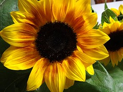 IL SOLE RACCHIUSO IN UN FIORE.. (anton A MILLION......KISSES!!!) Tags: sardegna macro yellow foglie natura giallo sunflower fiore petali girasole corolla verdi leggenda anton rememberthatmomentlevel1 rememberthatmomentlevel2