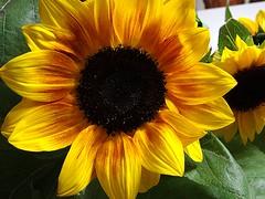 IL SOLE RACCHIUSO IN UN FIORE.. (antonè) Tags: sardegna macro yellow foglie natura giallo sunflower fiore petali girasole corolla verdi leggenda antonè rememberthatmomentlevel1 rememberthatmomentlevel2