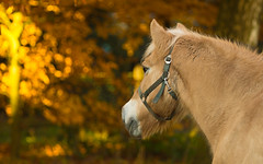 autumn (ewka.) Tags: life leica wood autumn trees wild horse orange tree nature animal yellow forest photography gold amazing ride sony herbst atmosphere apo pony r planet wald pferd baum reiten r8 loh haflinger ponny 180mm elmarit r9 nex7
