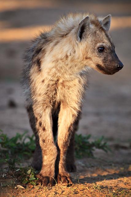Hyena Cub at Hide Dam