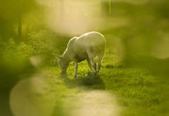Summer evening Grazing (1963chris) Tags: summer sunlight green grass animal rural evening scotland countryside nikon raw sheep eating farm sigma farmanimal summerevening grazing ayrshire domesticanimal d5100 stincharvalley