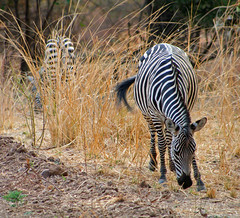 Grazing Zebra (April.Moulton) Tags: africa travel nature grass animal animals canon nationalpark wildlife zebra canon350d tamron grazing zambia nationalgeographic zebras wildanimals africansafari southluangwa travelphotography canonphotography tamron28300mmlens southluangwavalley