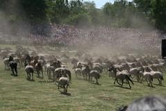 Wildpferdefang Dlmen (Kessi100) Tags: pferde wasserzeichen dlmen wildpferde