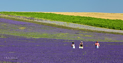 Hitchin Lavender (Rafe Abrook) Tags: summer colour field lines landscape purple lavender hitchin picking icknieldway herts voilet diagnonal hitchinlavender