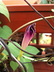 wilt before blooming (som300) Tags: morning glory flower plant motorola zn5