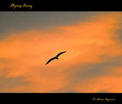 Flying Away . . . . .  . . . (still searching for happiness)             /   Explore - Nov 28, 2012 (Ahsan. (Off / On)) Tags: she life light sunset sky orange cloud motion black bird love me closeup clouds canon dark skyscape liberty photography freedom evening flying interesting focus alone loneliness colours shadows dof heart seagull happiness lie memory lonely effect betray eka canonef24105mm ridoy  canon7d bhalobasha ekaki