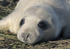 Grey seal pup close-up (gentle lemur) Tags: halichoerusgrypus greyseal donnanooknnr