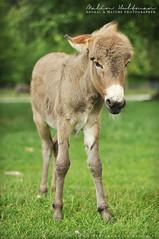 Donkey (Mejalin) Tags: beautiful wonderful nikon donkey sna nikond90