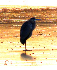 Great Blue Heron standing on thin ice (Yes, there are some still here, they must be nuts!!!