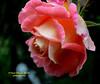 Pink Special rose (Pepe (ADM)) Tags: pink flower nature rose flor special fiori pinkrose fleure frenteafrente mygearandme flickrstruereflectionlevel1 rememberthatmomentlevel1
