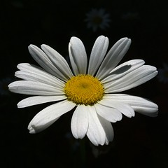 summer daisy (SS) Tags: flowers light summer italy white black flower macro nature colors yellow composition contrast garden square photography countryside focus day dof angle pov walk 4 perspective may gimp explore daisy framing fiore tones bianco depth margherita lazio iphone