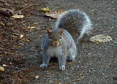 GOT ANY MORE? (ikan1711) Tags: park autumn fall leaves squirrels wildlife foliage fallscenes greysquirrels lifeinthepark autumnscenes parkscenes allsquirrels feedingtimeinpark