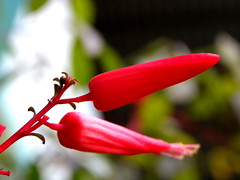 Hibiscus Rosasinensis (ANISHCHEPPAD) Tags: flowers macro bangalore macros