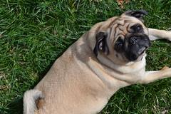 sun bathing (hannahkrajewski) Tags: dog grass puppy outside pug