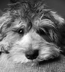 2 (Jamie-Owens) Tags: blackandwhite bw dog cute dogs puppy miniature puppies adorablepuppy scnauzer