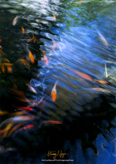 Dancing Fishes >Explored :-))< (Nguyn Hong (Mattoet)) Tags: fish dream hoa h hoangnguyen hchminh dinc hoangnguyenarc