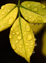 Yellow Leaf (Foto-Mike) Tags: autumn plant flower macro fall nature water up yellow canon garden lens eos is leaf drops close natural drop 100 28 mm usm ef 50d