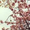 (Ogipix) Tags: pink flower nature 大阪 桜 osaka 花 自然 ピンク
