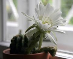 Kwitnie (siwa) Tags: flowers cactus flower cacti kwiaty suculent kaktus kwiat kaktusy lobivia sukulent lobiviacarminantha