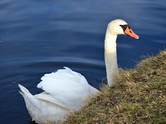 Could You Help Me Climb Up? (McDuck17) Tags: bird nature water beauty swan pond feathers nj muteswan