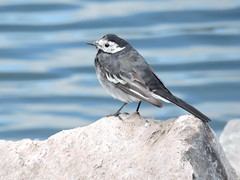 Pied wagtail (deannewildsmith) Tags: earthnaturelife