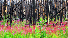 It's Been a Long Time Since the Fire 6 (Dan Beland) Tags: yukon theyukon wildflowers forestfireremnants burnedtrees blackendtrunks purple pink flowers juxtaposition northamerica artistic art nature canonsx720hs canada trees pickupsticks timber