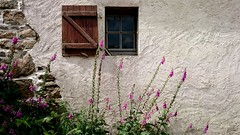 The last of the foxgloves (Explore 21st July 2016) (AieshaB) Tags: window foxgloves wall stonework renderedwall shutters
