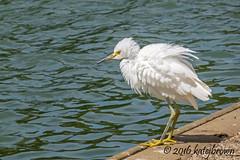 Fluffed (katejbrown photography) Tags: g3x birds egret goldengatepark katebrown katejbrown nature sanfrancisco snowyegret spreckleslake