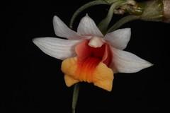 Dendrobium bellatulum 2016-08-08 02 (JVinOZ) Tags: orchidspecies orchid dendrobium
