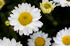 Greetings to All. (Zahid - At sea - Thanks for the views ,Favs and co) Tags: nature garden flower white yellow green leaves foliage plant depthoffield daisy greetings darkbackground blackbackground worldphotographyday 19thaugust2016worldphotographyday