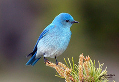 REMINDERS ... (Aspenbreeze) Tags: mountainbluebird bluebird wildbird mountainbirds wildlife coloradobirds wyomingbirds birds nature rural country bevzuerlein moonandbackphotography aspenbreeze ngc