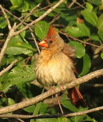 Female Cardinal (Photos by the Swamper) Tags: birds cardinal