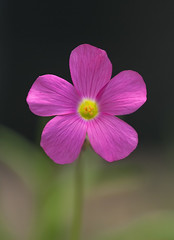 Perfect Pink Oxalis (cobalt123) Tags: oxalis flower pink pinkflower weed arizona canon40d phoenix archive macro nature us
