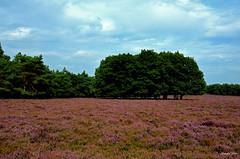 Dutch Purple Landscape (JaapCom) Tags: jaapcom heide trees clouds wezepsche wezep dutchnetherlands landscape hollanda holanda paysbas purple paars