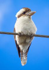 Australian Laughing Kookaburra (satochappy) Tags: kookaburra laughingkookaburra australian nsw sydney blue cute pretty