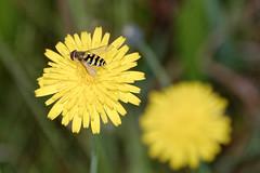 Schwebfliege (Veit Schagow) Tags: schwebfliege hooverfly insect insekt fliege gelb lwenzahn blte