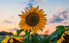 Helianthus or sunflowers (EXPLORED - on Sep 13, 2016) (priyasharma24) Tags: sunflower helianthus yellow orange flowers flowerfield sunset new york green beautiful