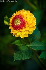 Dahlie / Dahlia (R.O. - Fotografie) Tags: dahlie dahlia gelb yellow rot red grn green blte blossom blume flower outdoor panasonic lumix dmcfz1000 dmc fz1000 fz 1000 bokeh dof schrfeverlauf closeup close up natur nature