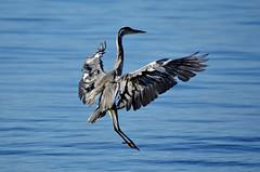 Amerrissage imminent (Diegojack) Tags: nikon nikonpassion d7200 oiseaux embouchure boiron tolochenaz vol hrons cendr lman