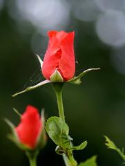 Rose buds (Jaedde & Sis) Tags: rose bud web two red green dof friendlychallenges challengegamewinner unanimous challengefactorywinner thechallengefactory