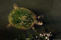Turtle. Hervey Bay, QLD. (troyhovenden) Tags: australia adventure aussiewildlife australian photography photograph ilovephotography turtle reptile qld hervey bay holidays