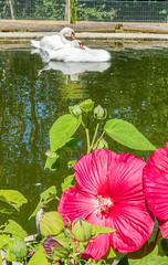 swans relax by flowers (PhilHydePhotos) Tags: hibiscus muteswan swan swans waterfowl