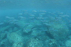 Snorkelling at Raoul Island (cathm2) Tags: newzealand kermadecs raoul island snorkelling underwater fish nature
