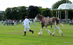 Six legged race (mootzie) Tags: scotland trotting aberdeenscotland running coat white competitor horse clydesdale animal ribbons horseshoes bandstand park aberdeen